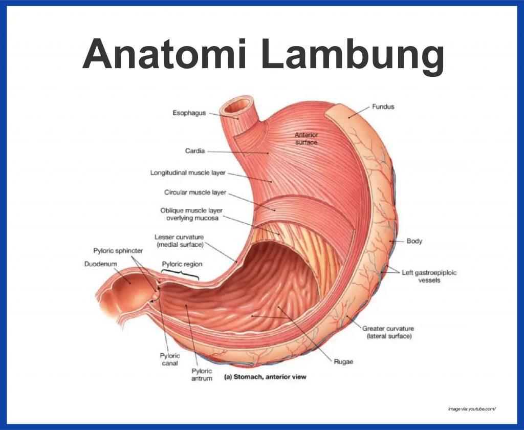 anatomi lambung