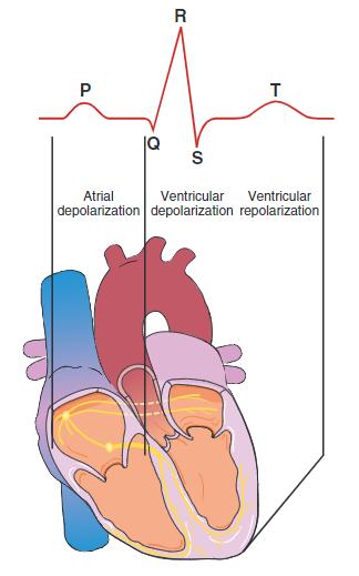 Depolarisasi dan repolarisasi jantung
