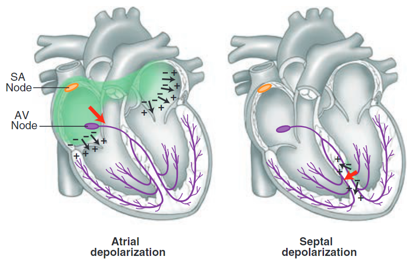depolarisasi atrial dan septal